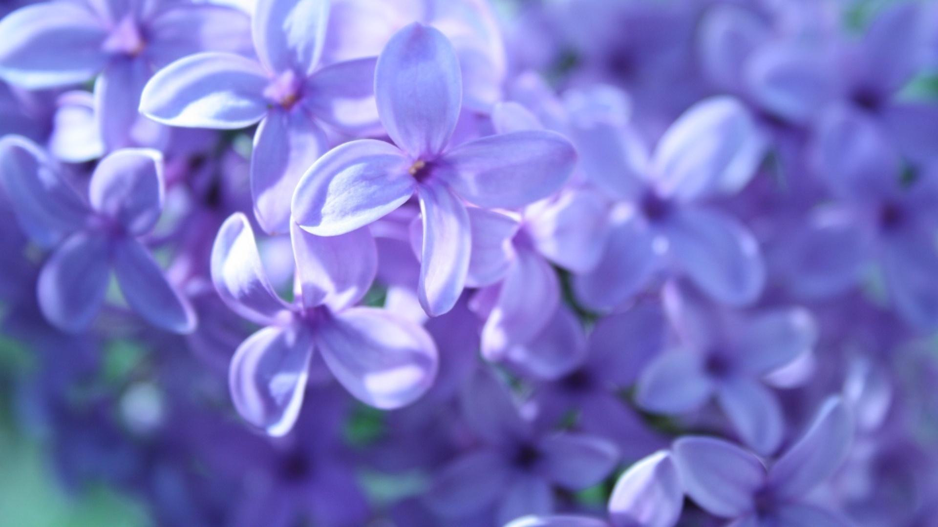 Красивого, картинки цветы сирени на рабочий стол