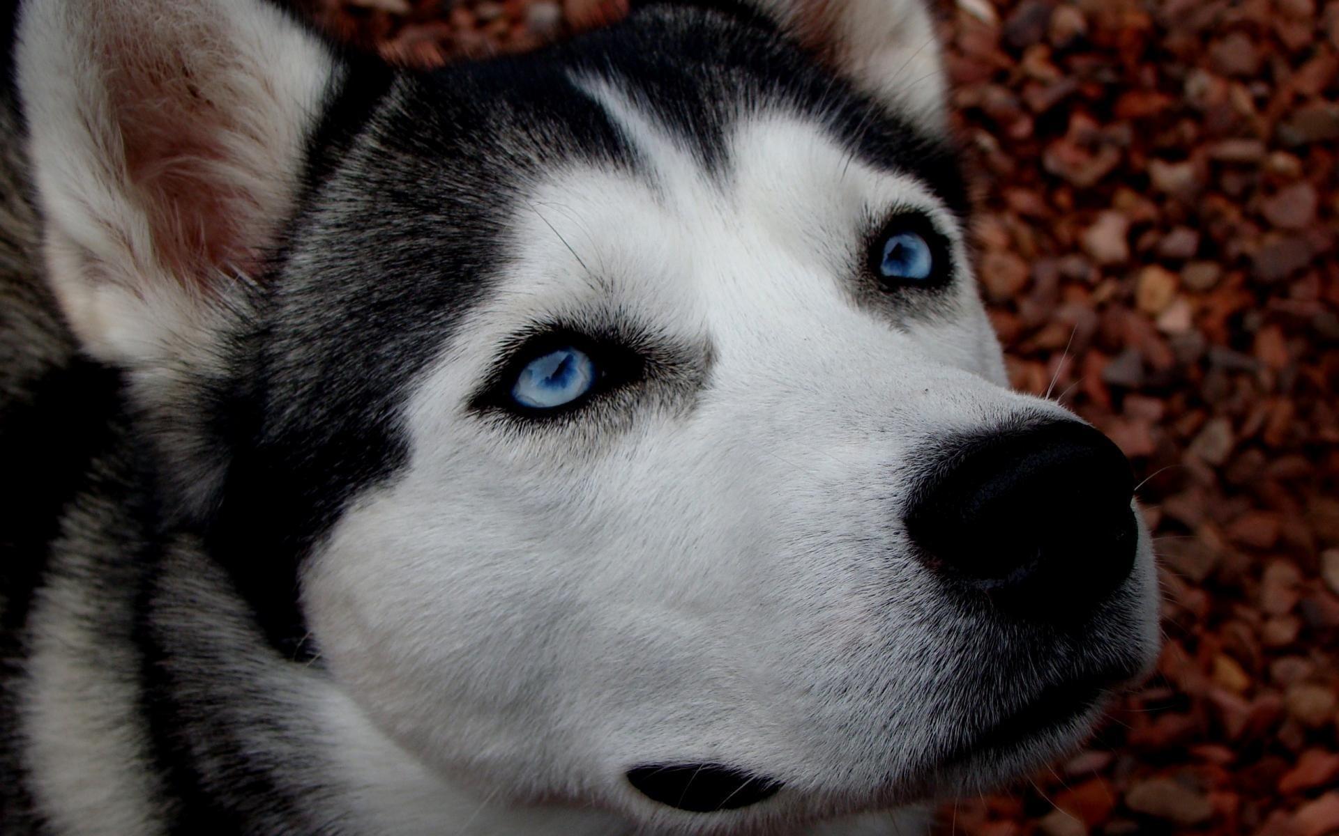 Картинки с собаками хаски, анимации