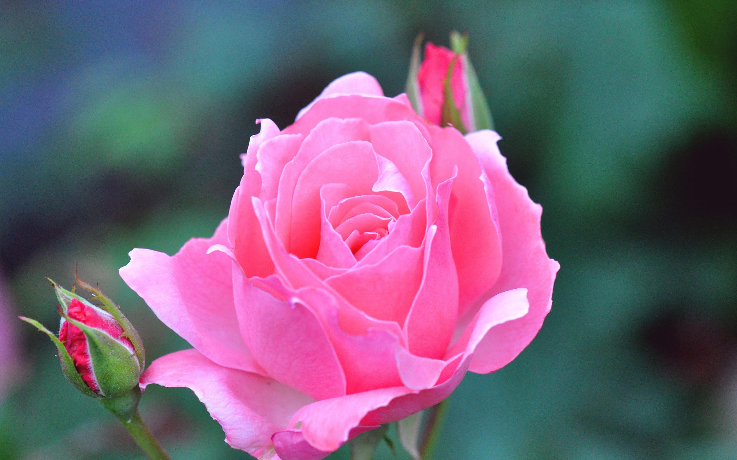 Днем, картинки самые красивые цветы розы
