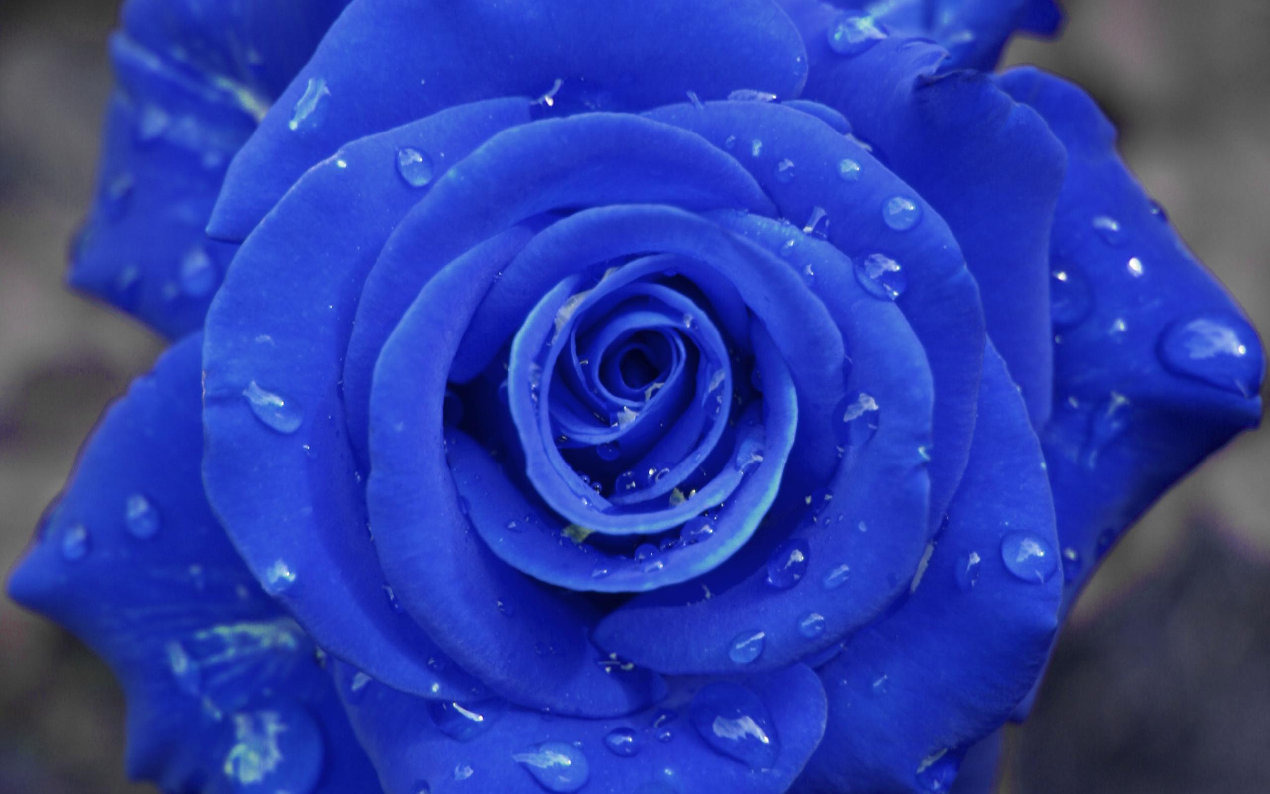 Философскими высказываниями, красивые картинки с розами синими