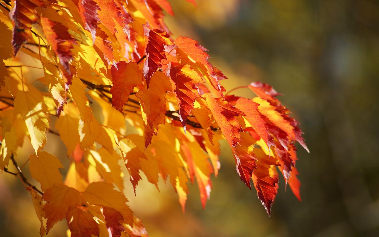 градация, цвет, фон, пышная, осень, листики, Ветка, природа