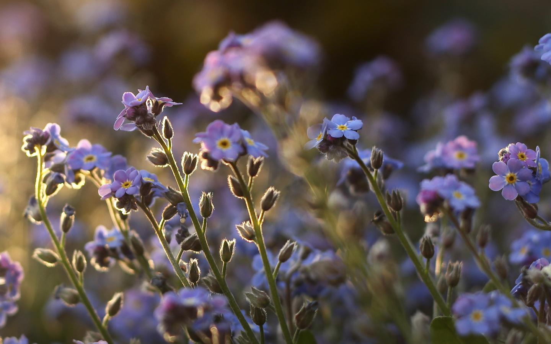 фиолетовые, стебли, растения, Незабудки, цветы, поле
