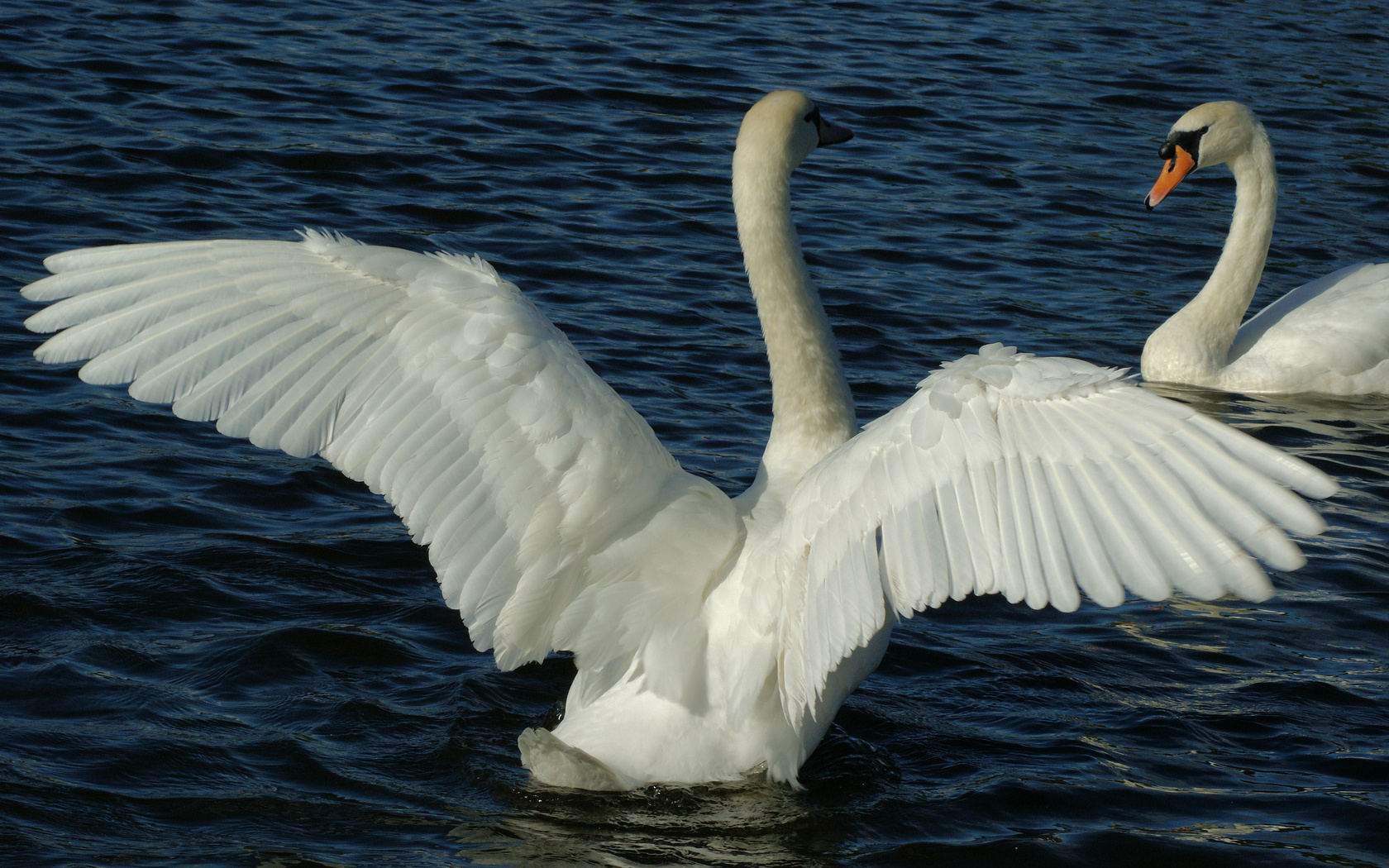птицы, крылья, лебеди, Пруд, перья, пара, белые, вода
