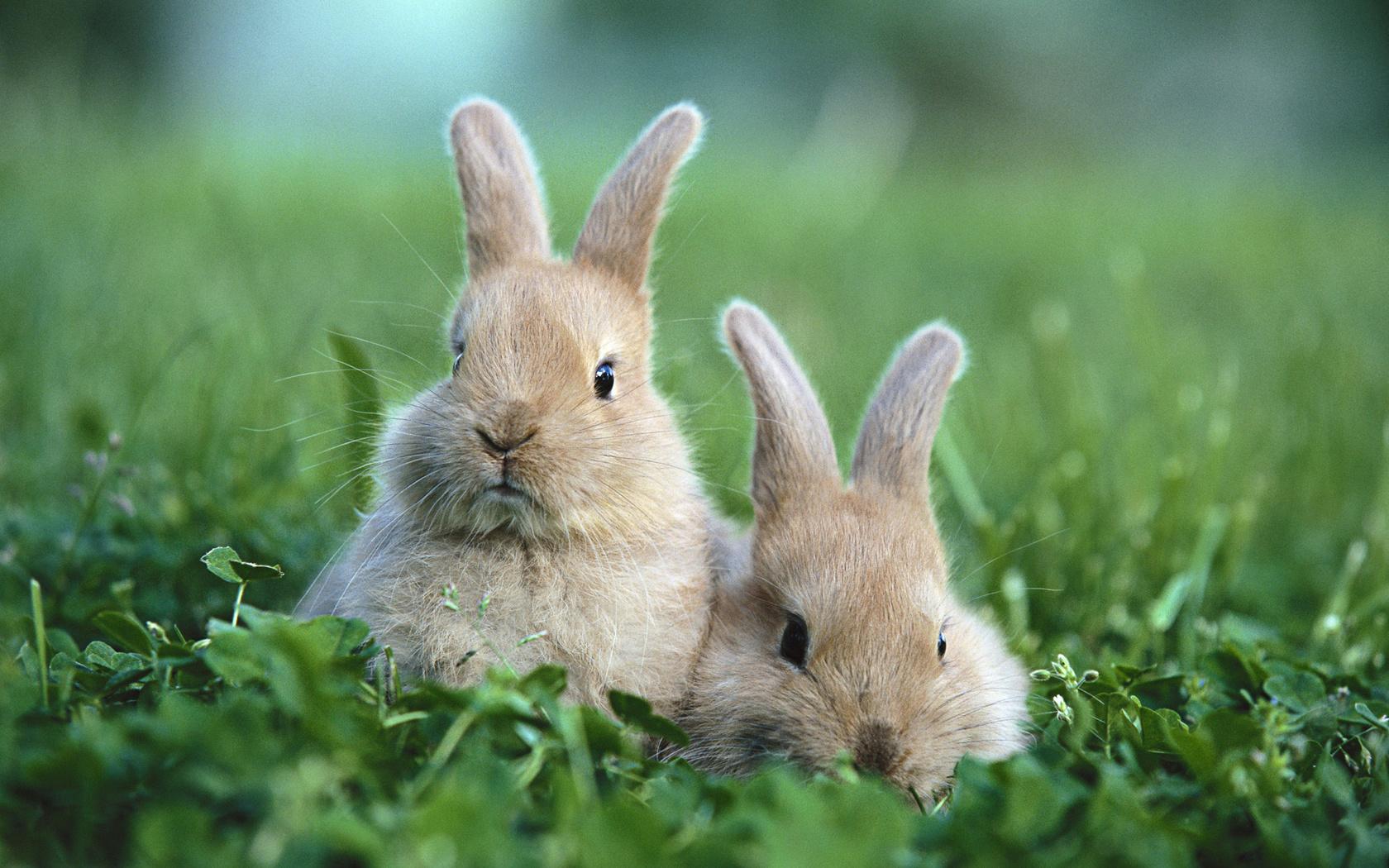 Кролики серого цвета предрекают монотонность во всех отношениях, то есть, и на работе, и в семье будет все оставаться так, как есть в настоящее время.
