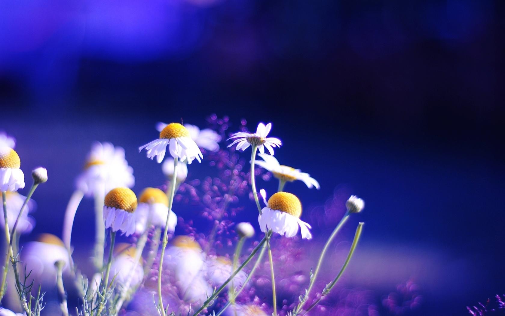 яркие, ромашки, цветы, Природа, фон, растения, цвета