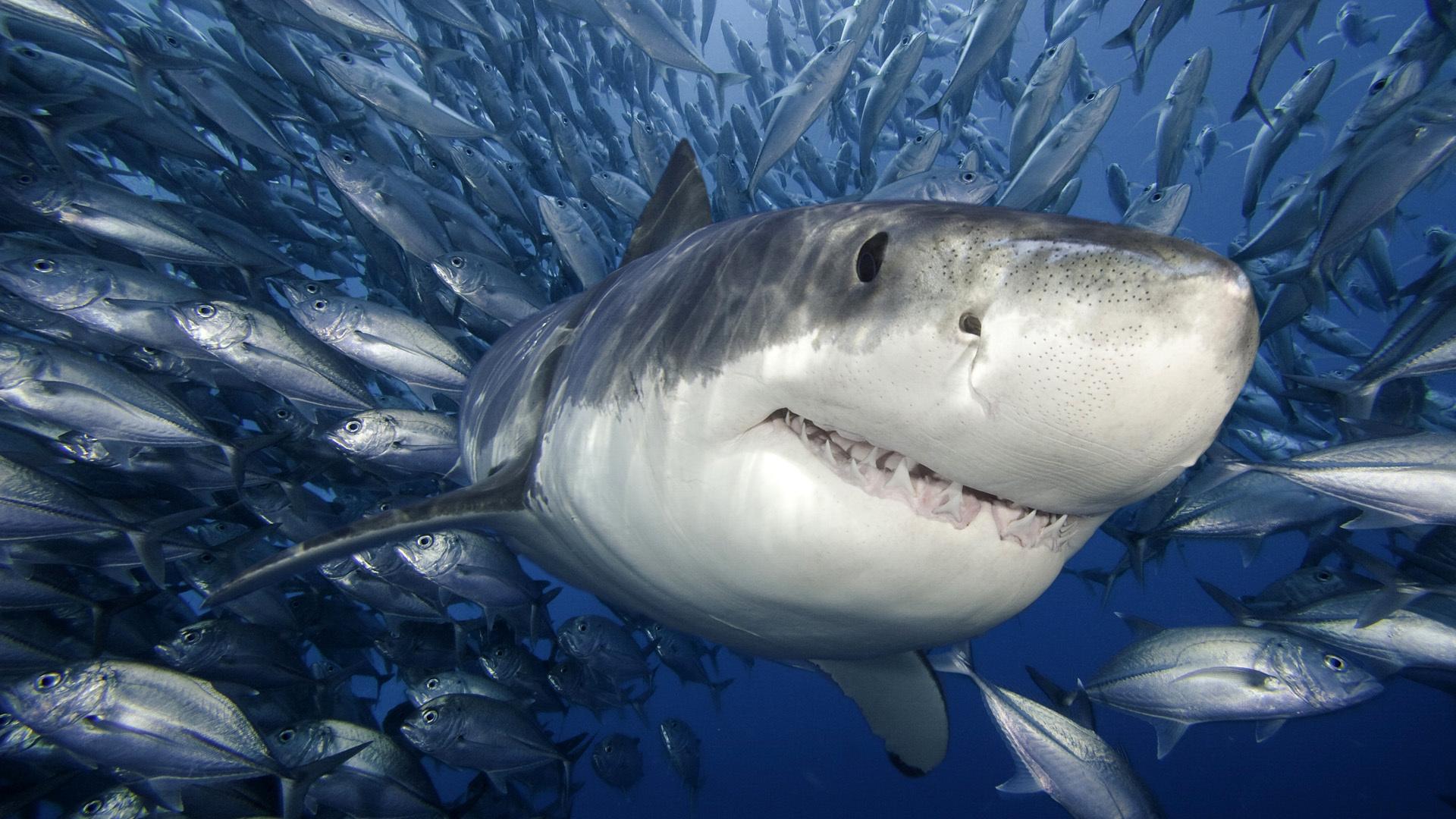 рыбы, море, Белая акула