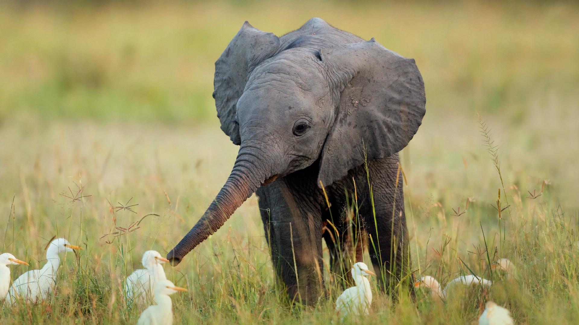 птицы, слоненок, трава, слон, Африка