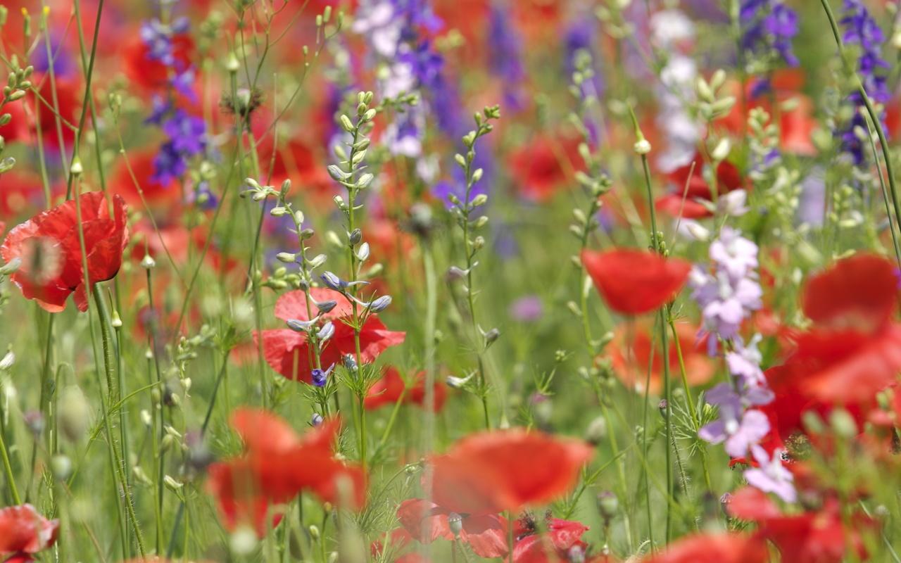 Цветы, разные, полевые, маки