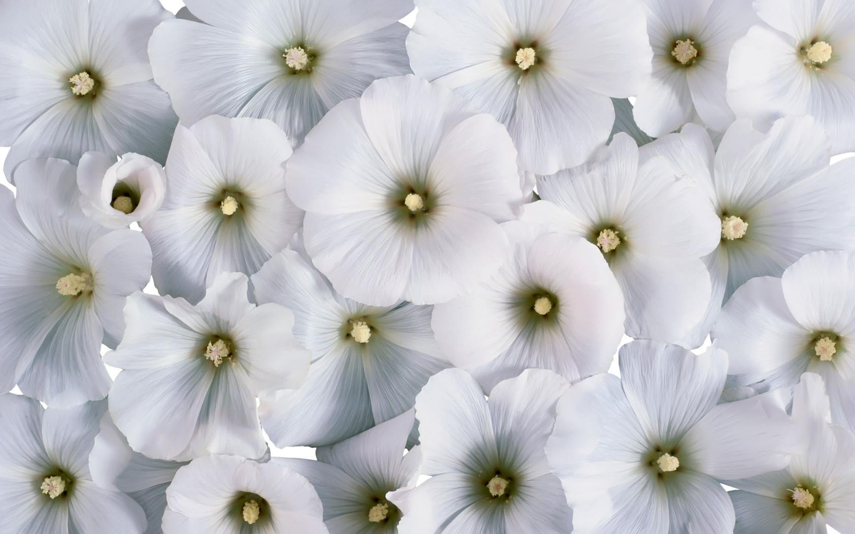 Марта, цветы белые картинки