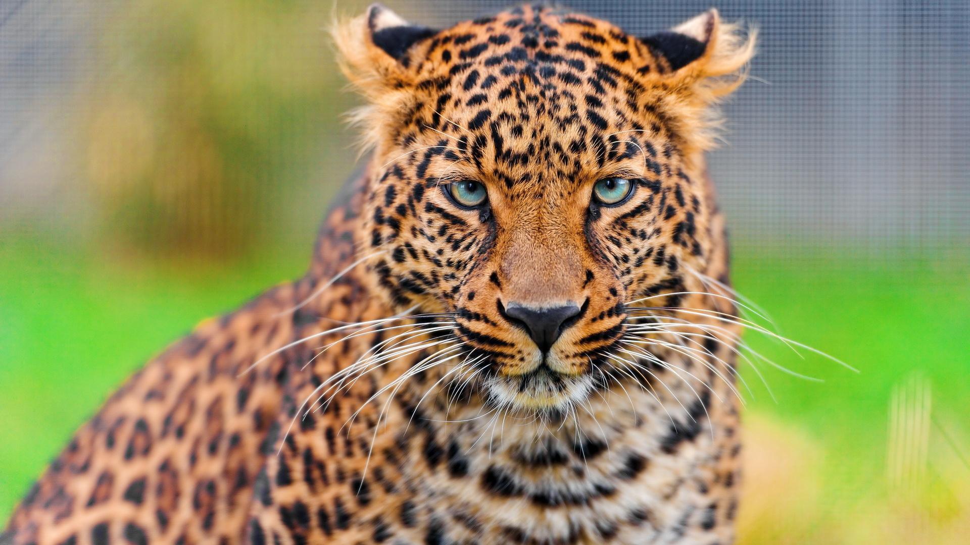 Дню, крутые картинки леопарда