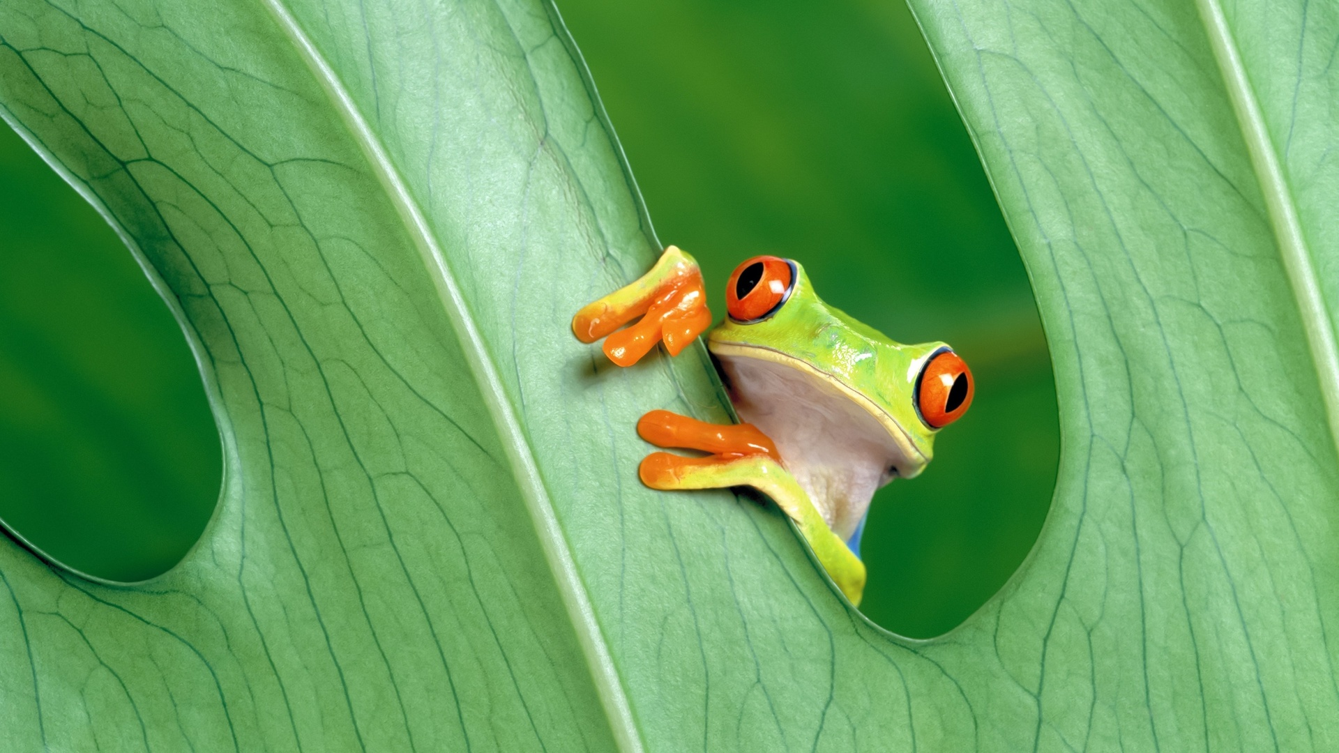 лягушка, лист