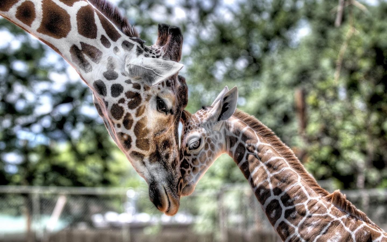 Жирафы картинки на рабочий стол