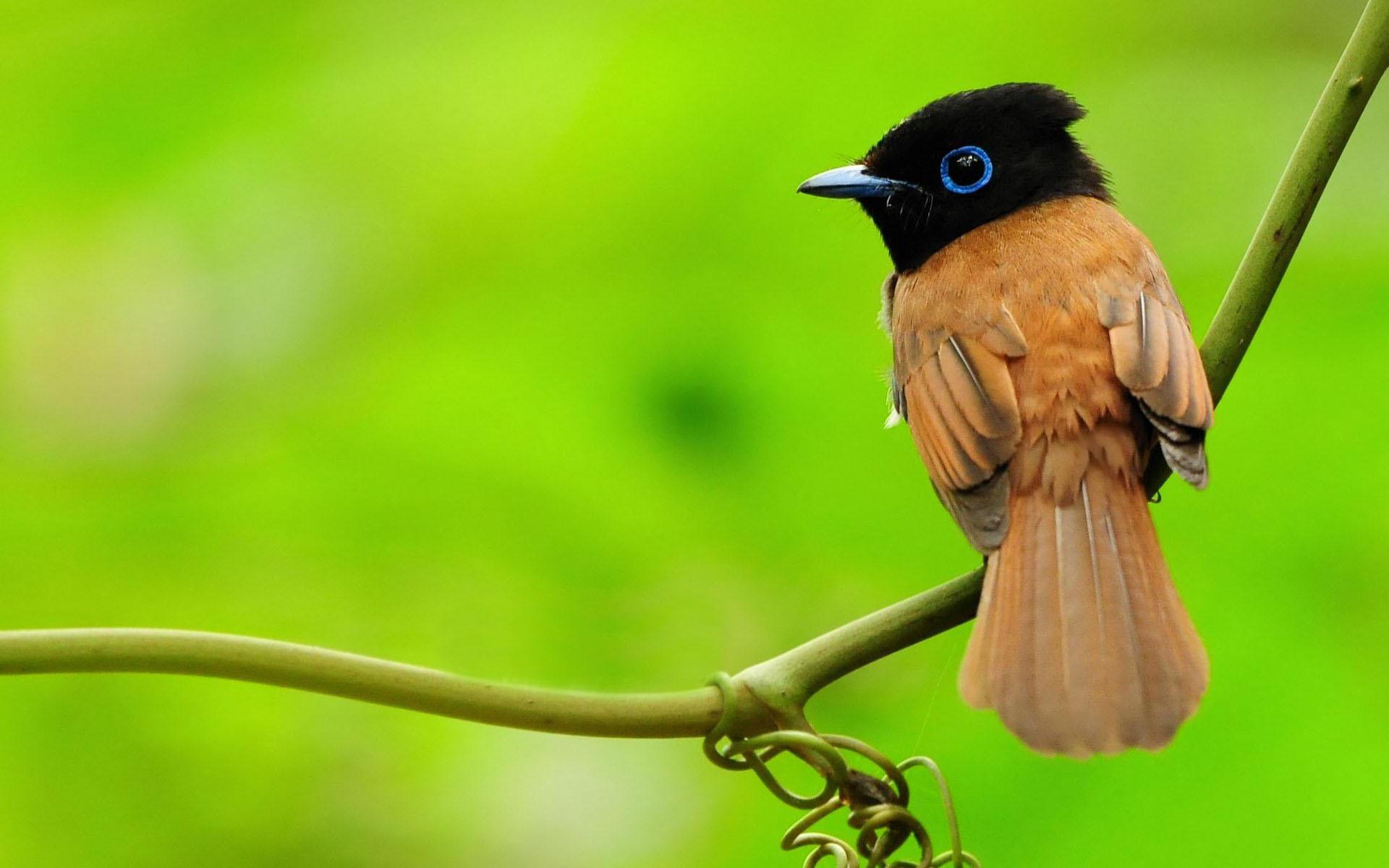 asian paradise-flycatcher, Птица, зелень, ветка, макро
