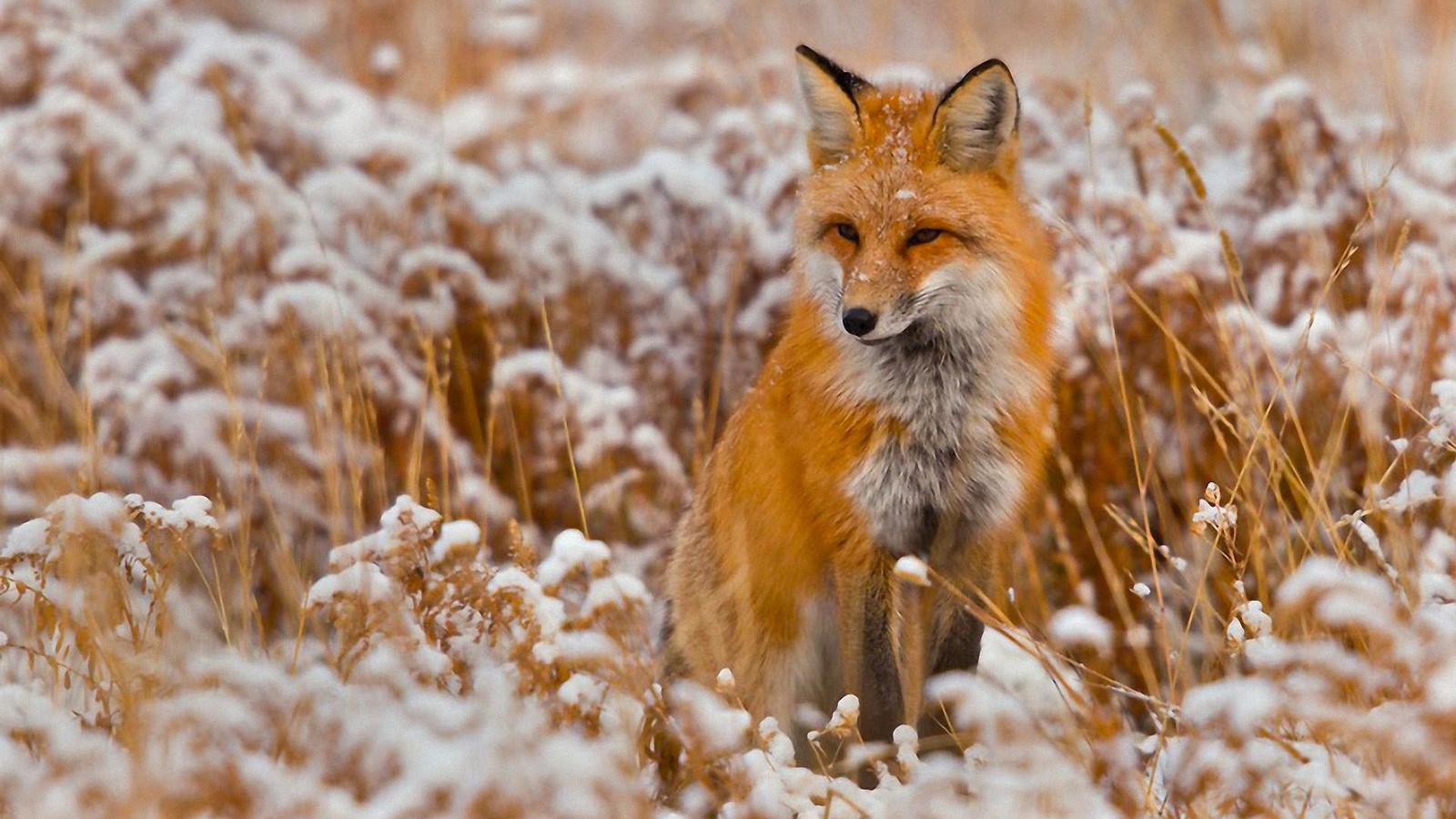 Красивые картинки лисы, марта своими