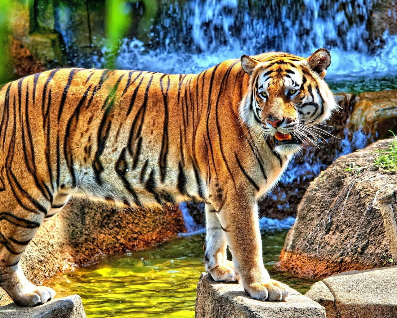 Открытки животные тигр