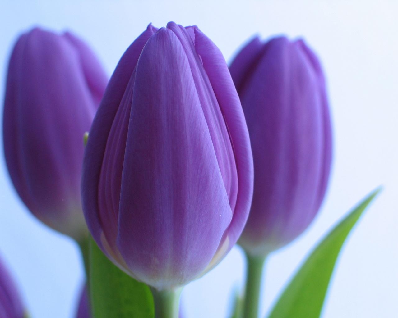 Открытки фиолетовые тюльпаны