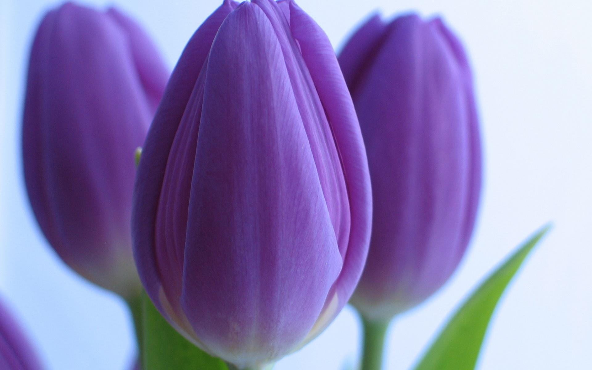 условно стихи фиолетовые тюльпаны подскажем, чего