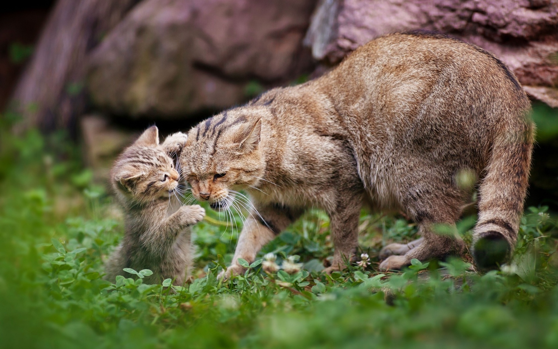 животные, дикие коты