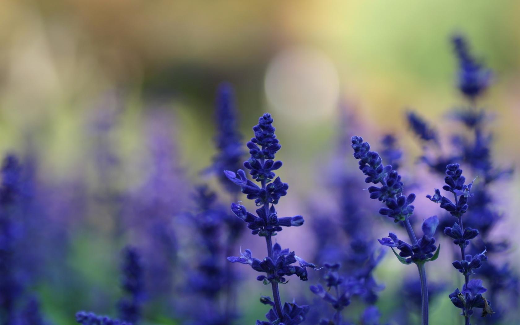 фон, лето, Цветы, растения, лаванда, поляна, синие