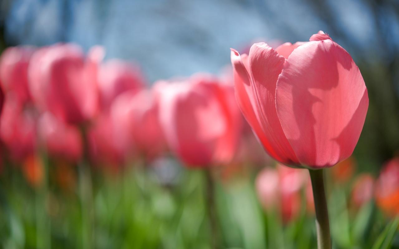 бутон, стебель, поляна, Тюльпан, розовый, цветок, весна