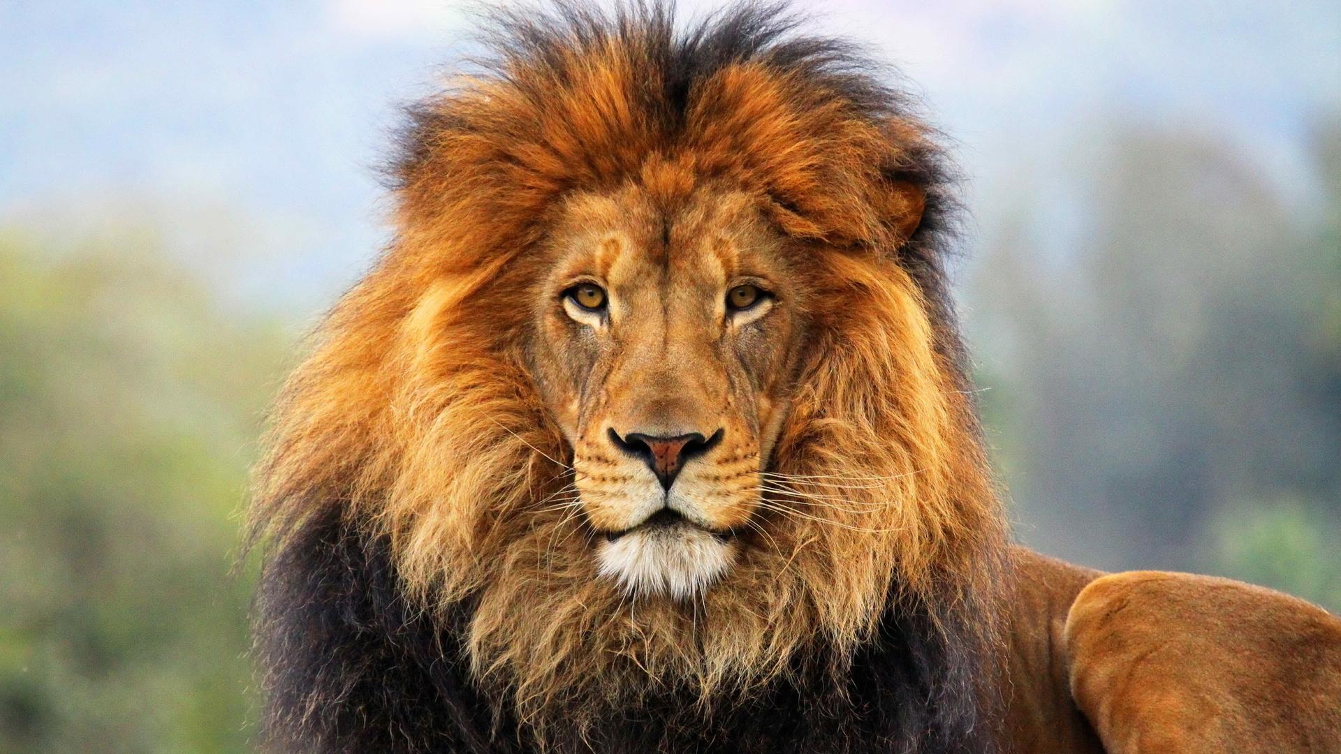 Дота, картинки львов красивые