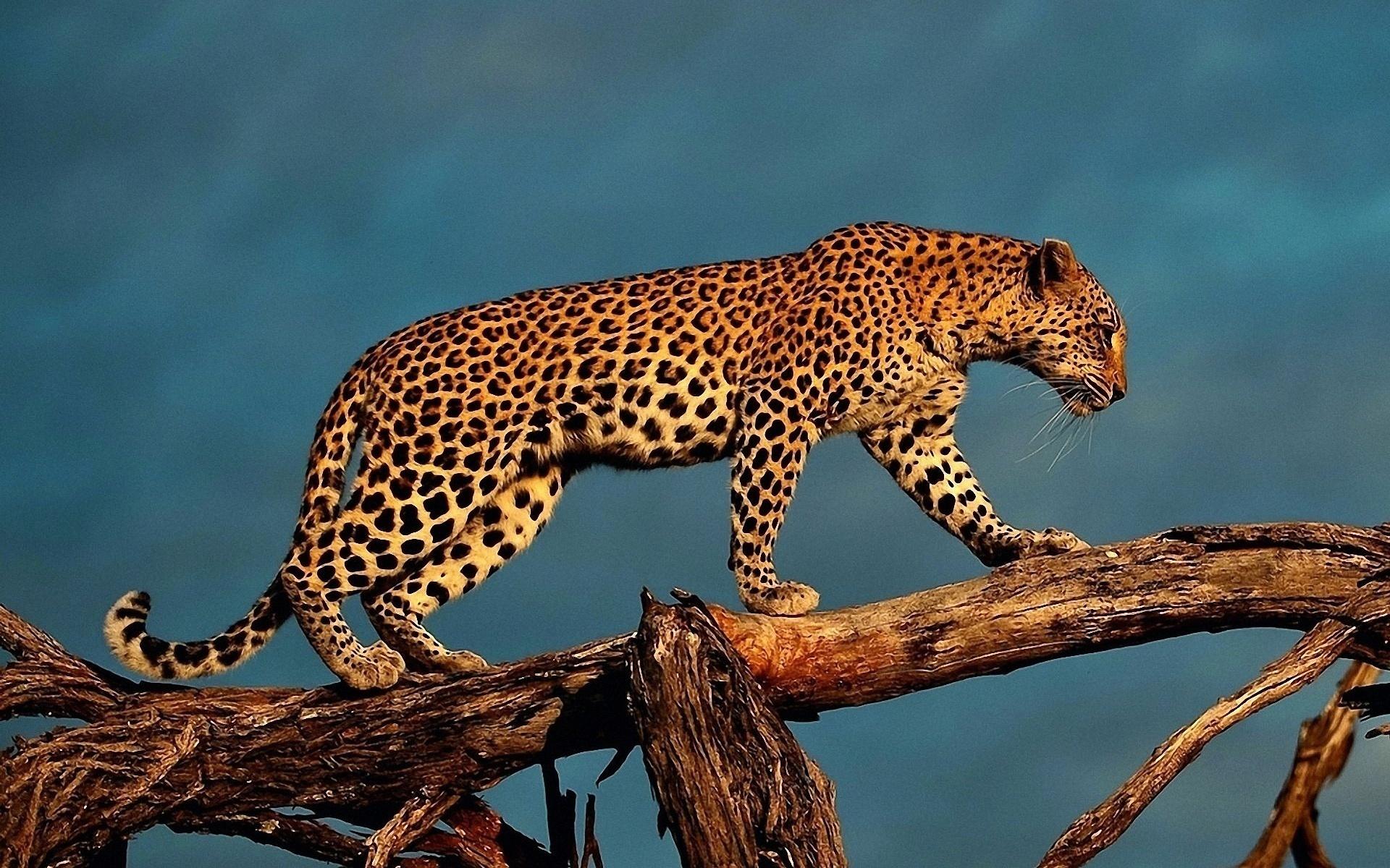 parambi leopard - 1279×748