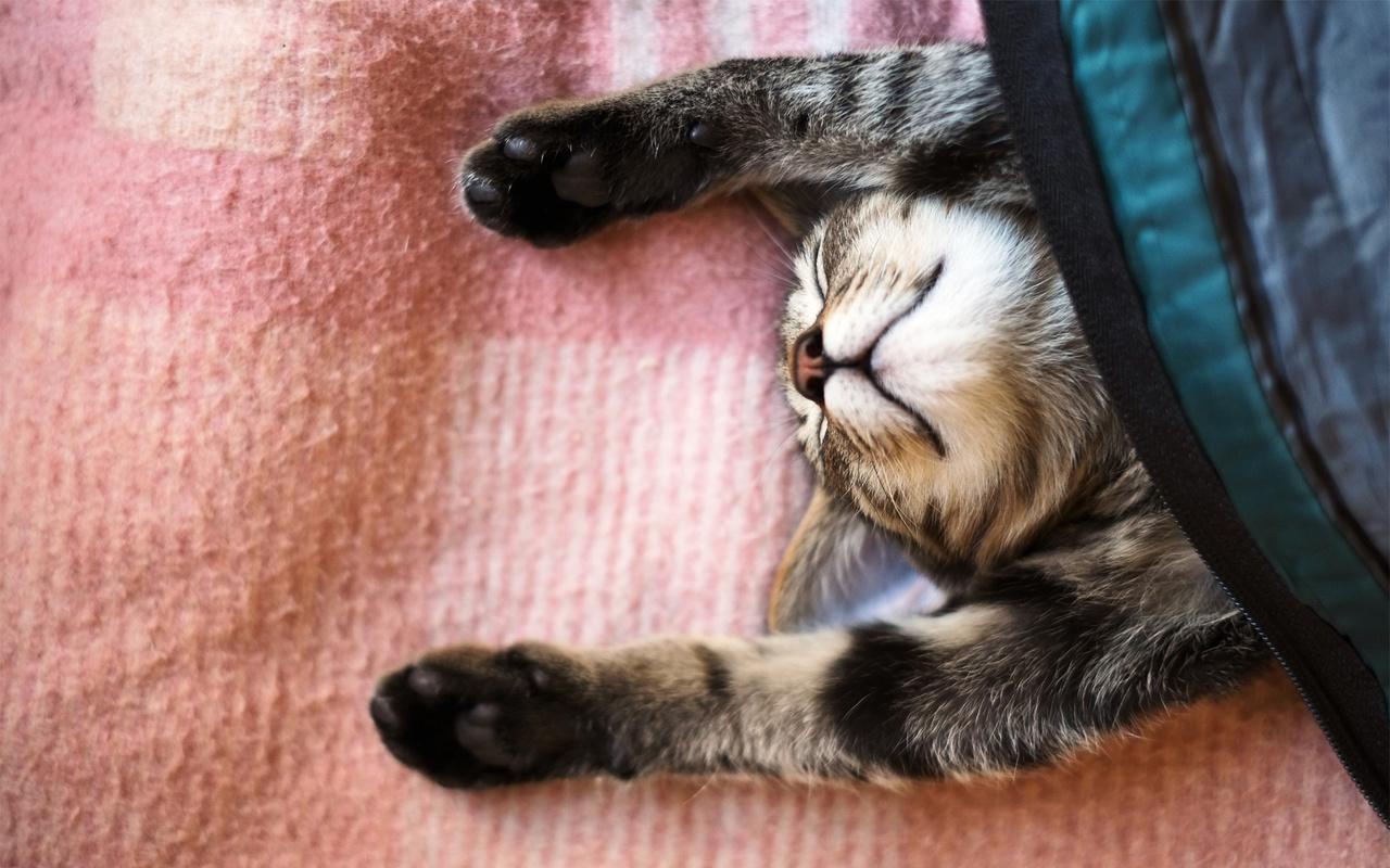 кошка, сон, кот, спит, покрывало, лапы