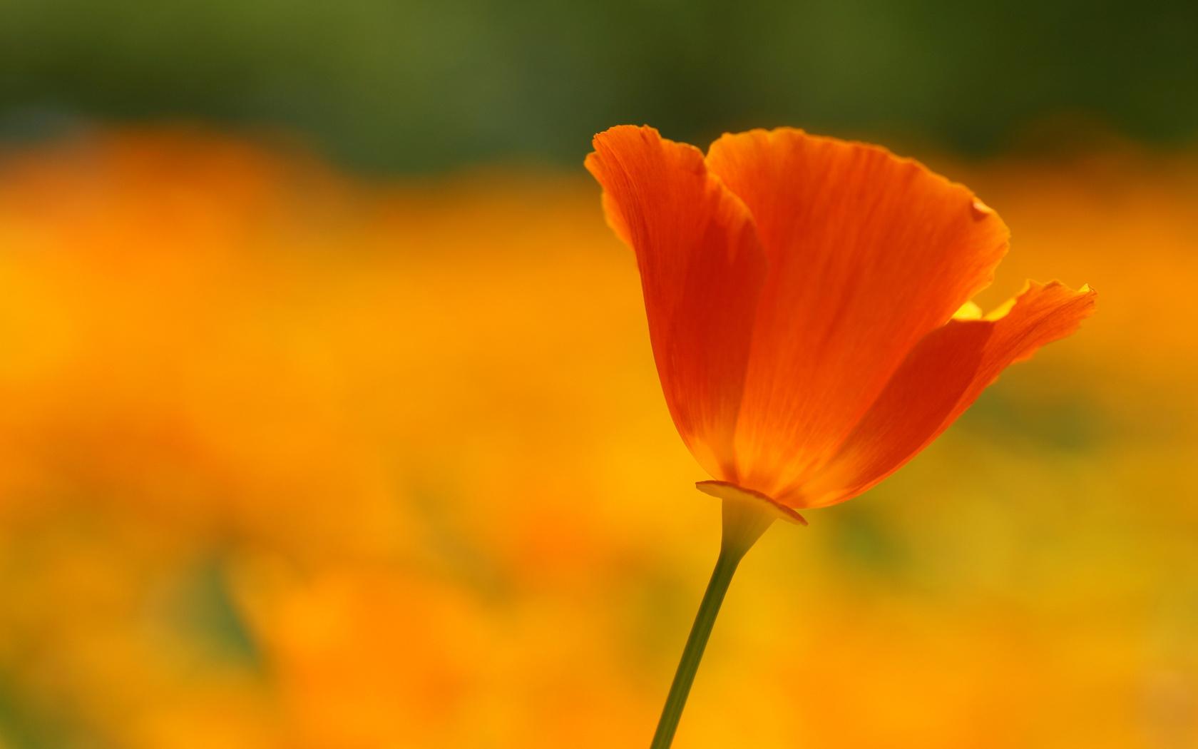 красный, лепестки, алый, оранжевый, цветок, яркий, Мак