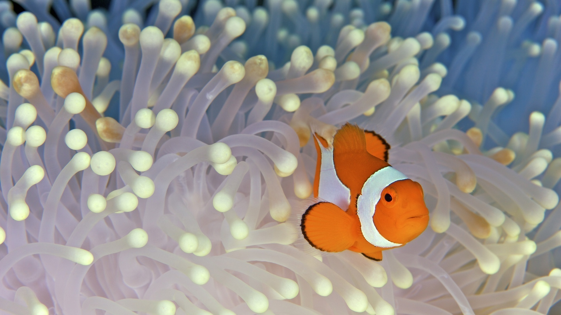 водоросли, рыба, клоун, дно, fish, nemo