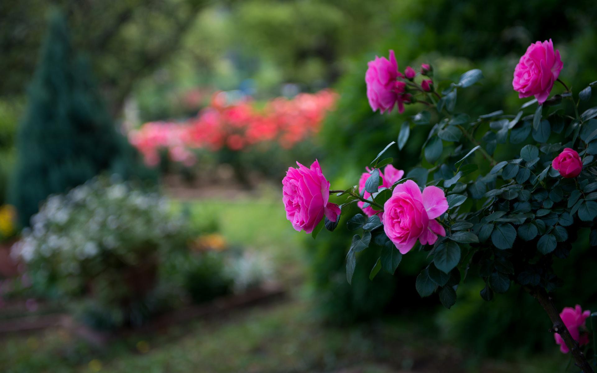 Про, фото красивые розы