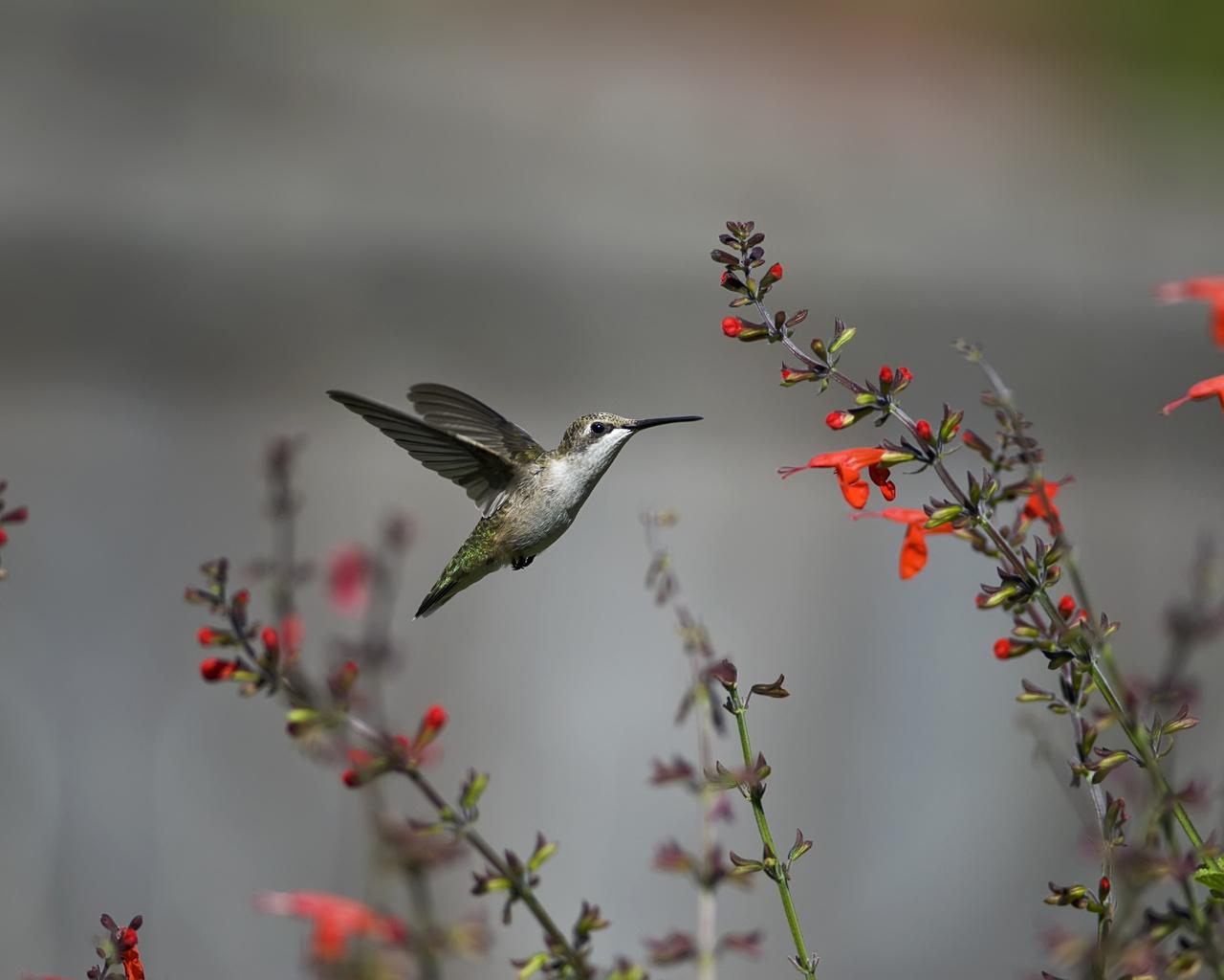 полет, цветы, колибри, красные, Птица