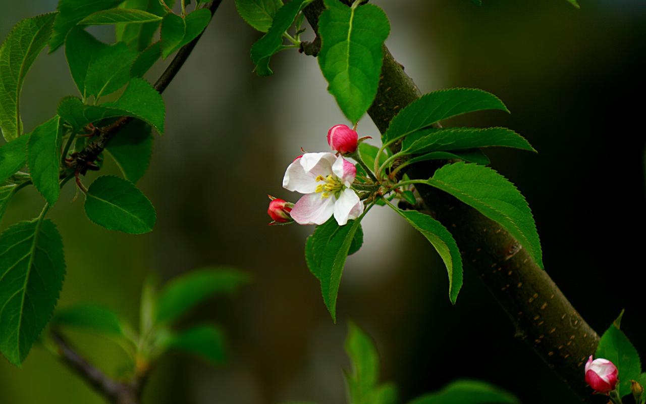 цветок, бутон, яблоня, розовый, Ветка, весна, листья