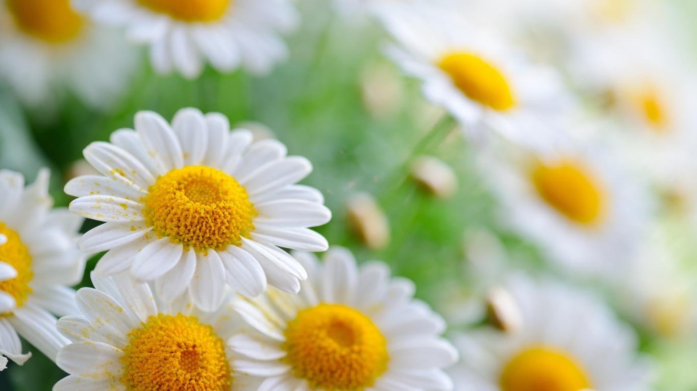 лепестки, боке, Ромашки, пыльца, природа, лето, цветы, ромашки