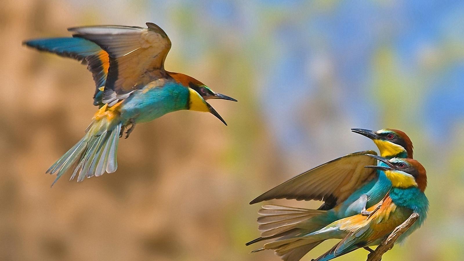 измена, Птицы, соперник