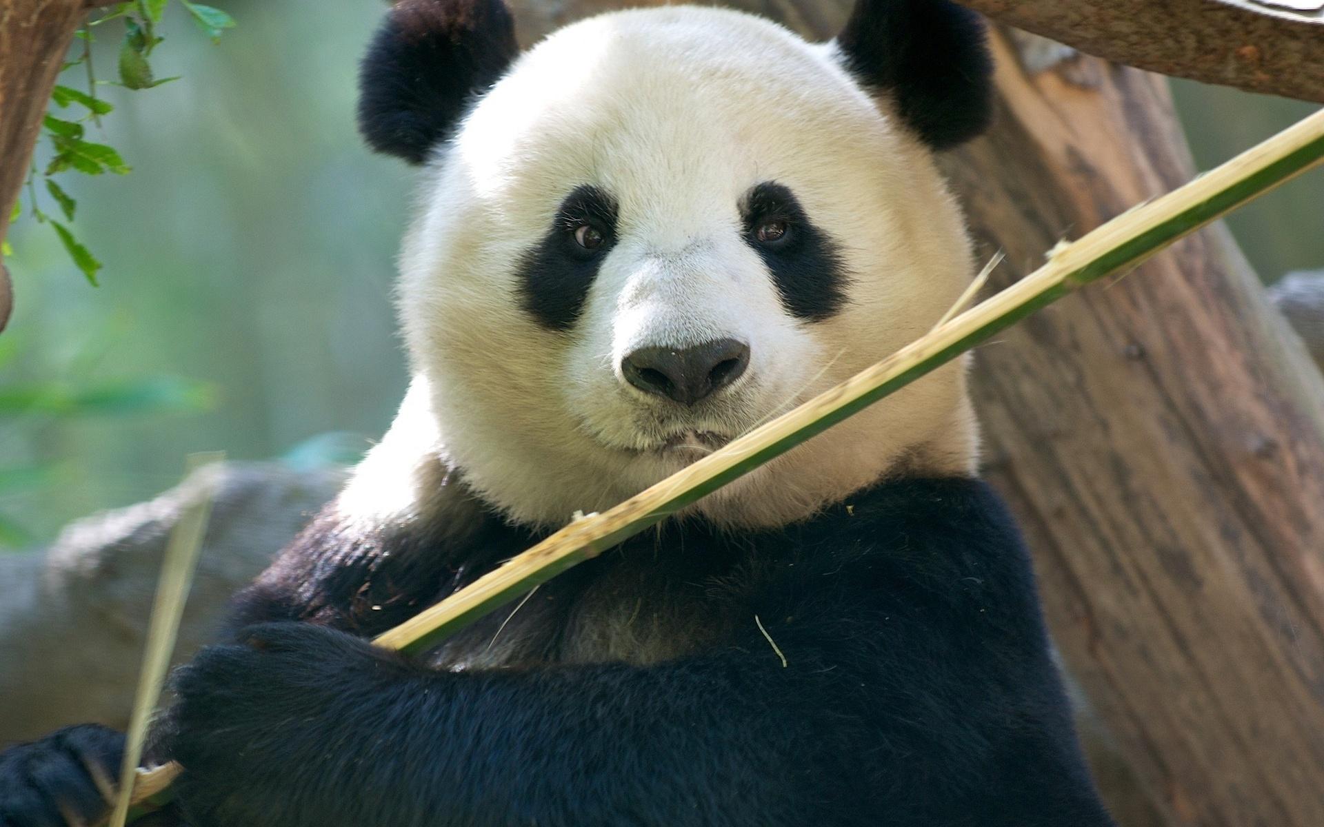 Смешные животные, панда картинки на рабочий стол