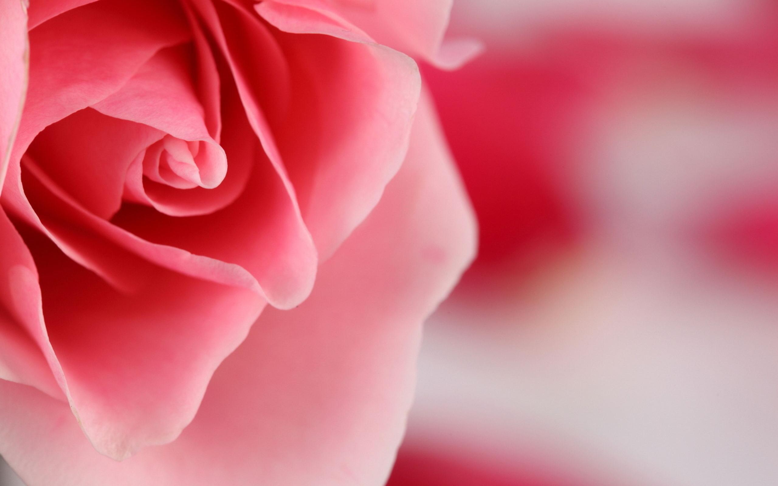 роза, розовый, лепестки, цветок, Макро, цвет