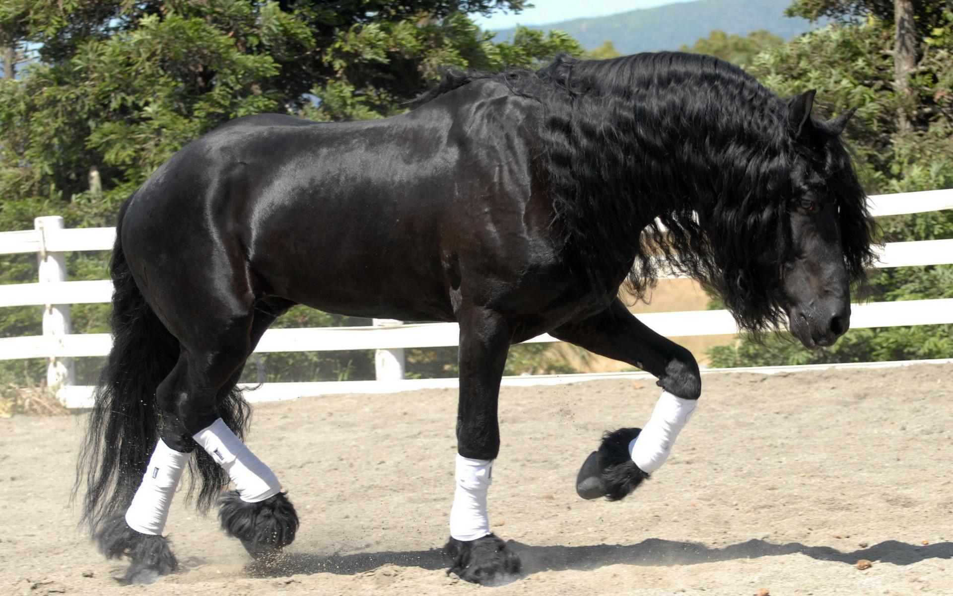 Фризы лошади картинки и фото