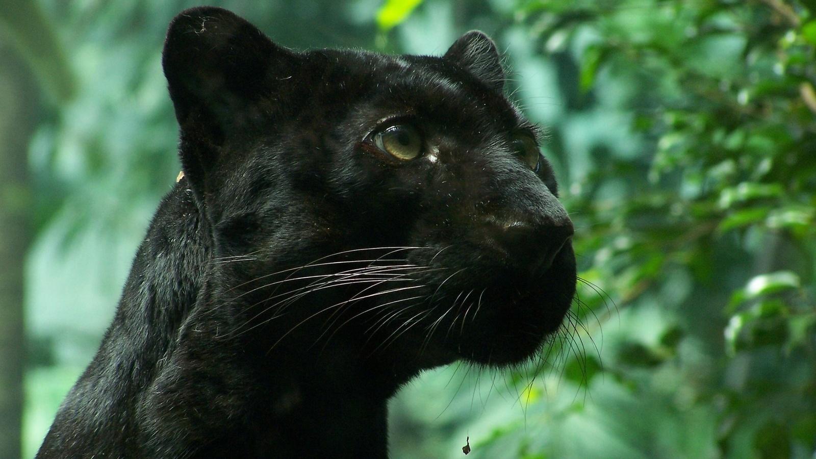 Картинки пантеры черной, фонтаны анимация картинки