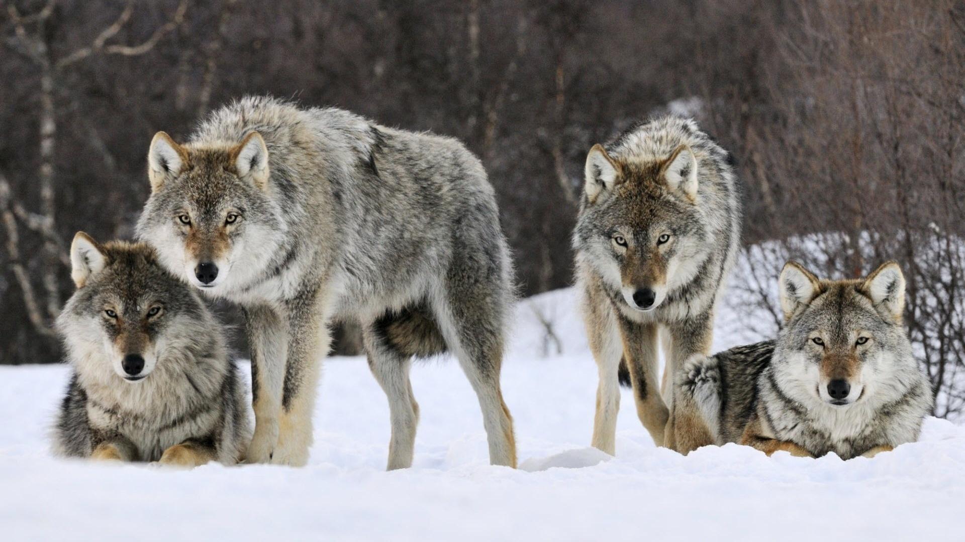 Днем рождения, картинки волков