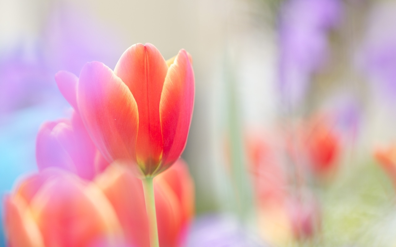 яркий, красный, цветок, Тюльпан, бутон, алый