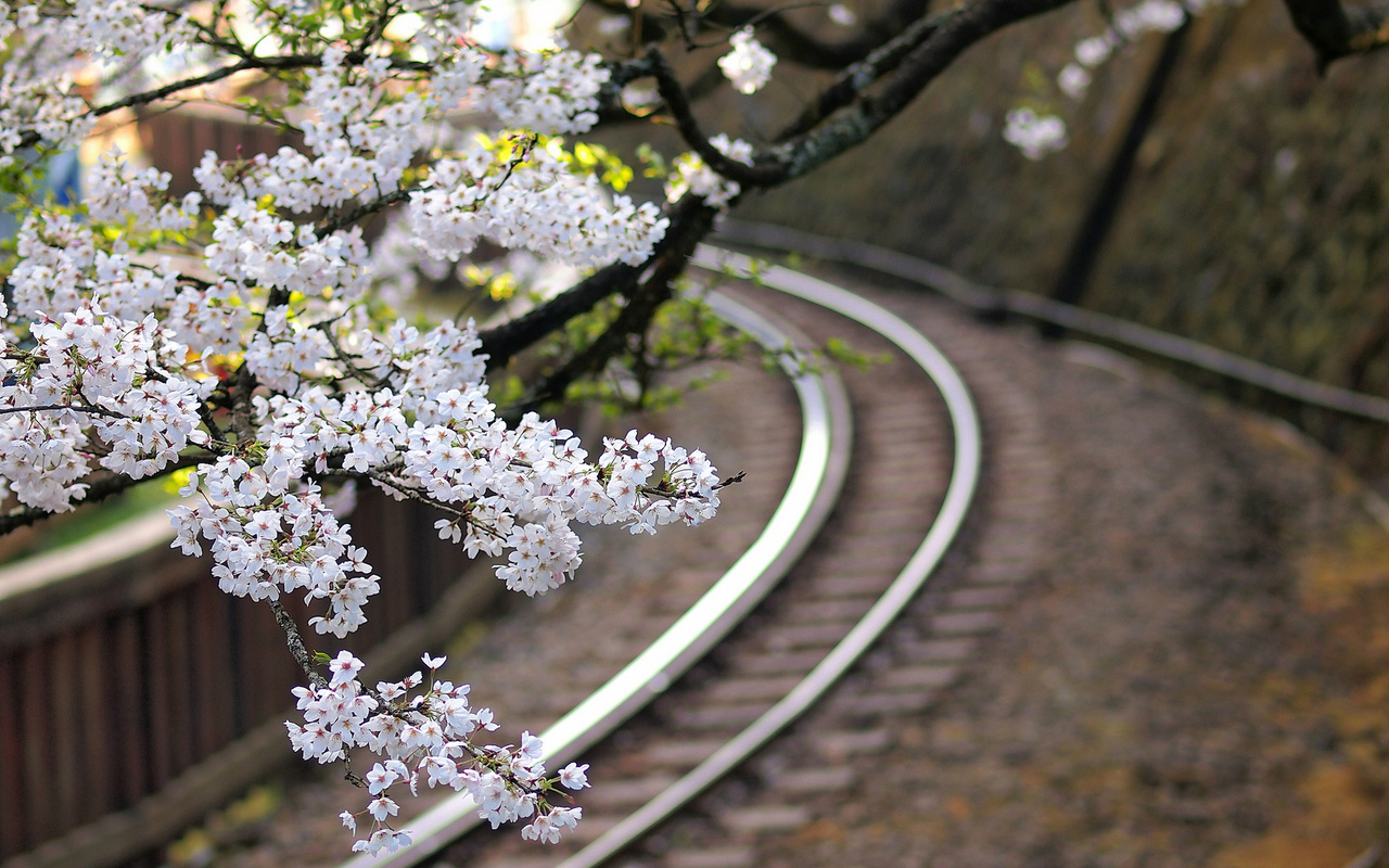 дерево, железная дорога, сакура, цветы, Япония, ветки