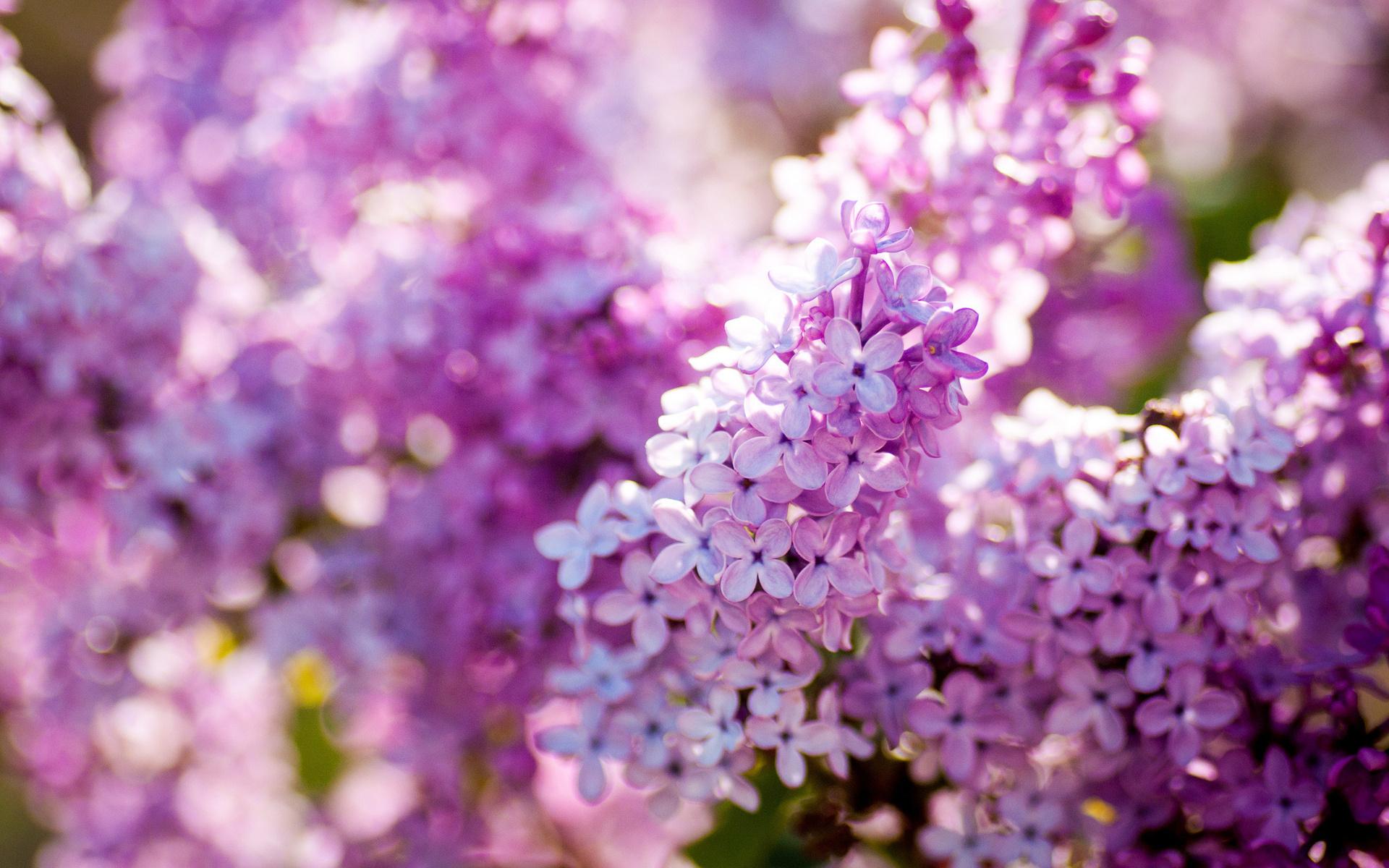 Картинки цветы сирени на рабочий стол, день рождения любимой