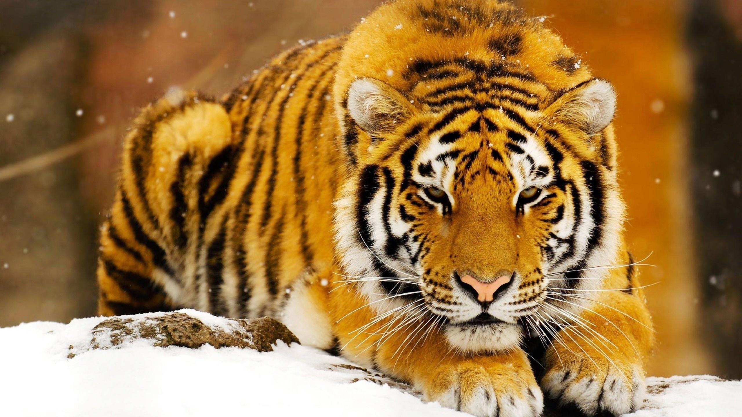 through the eyes of a tiger essay
