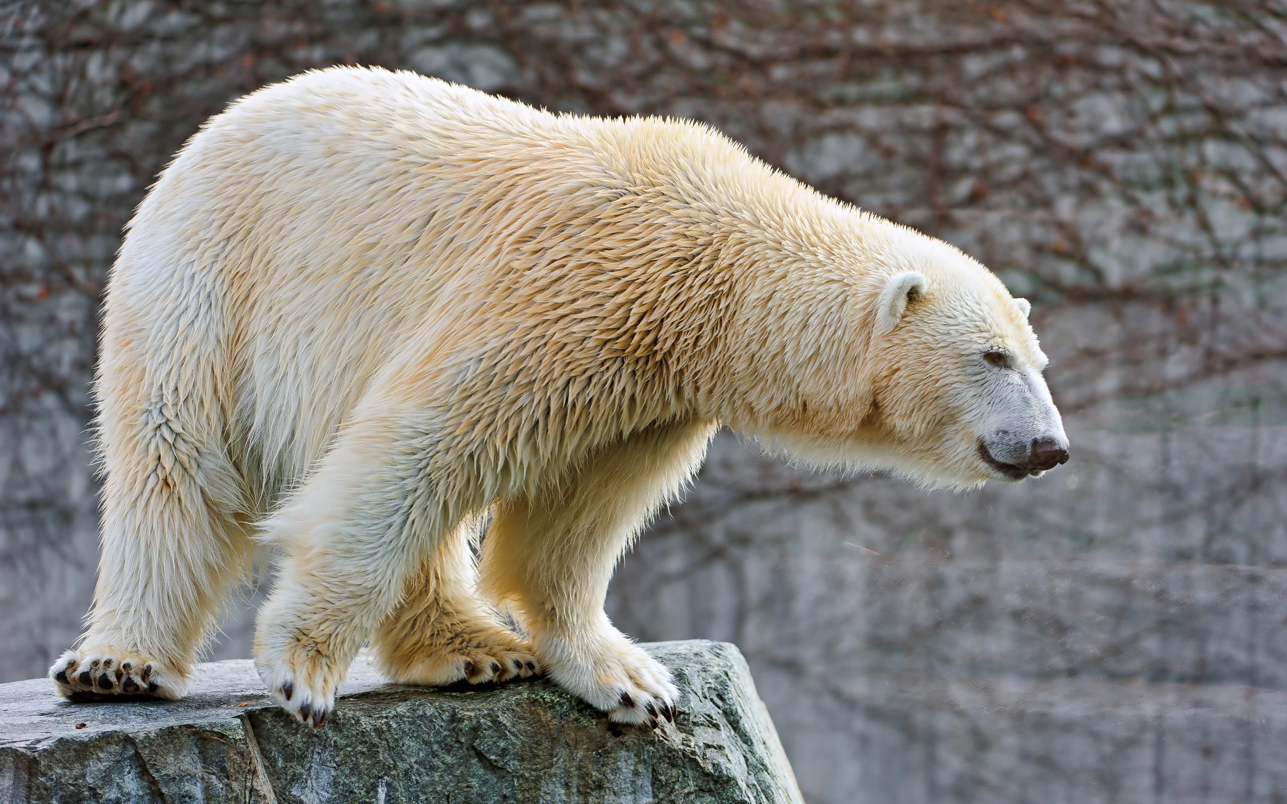 Открытки день, картинки белые медведи