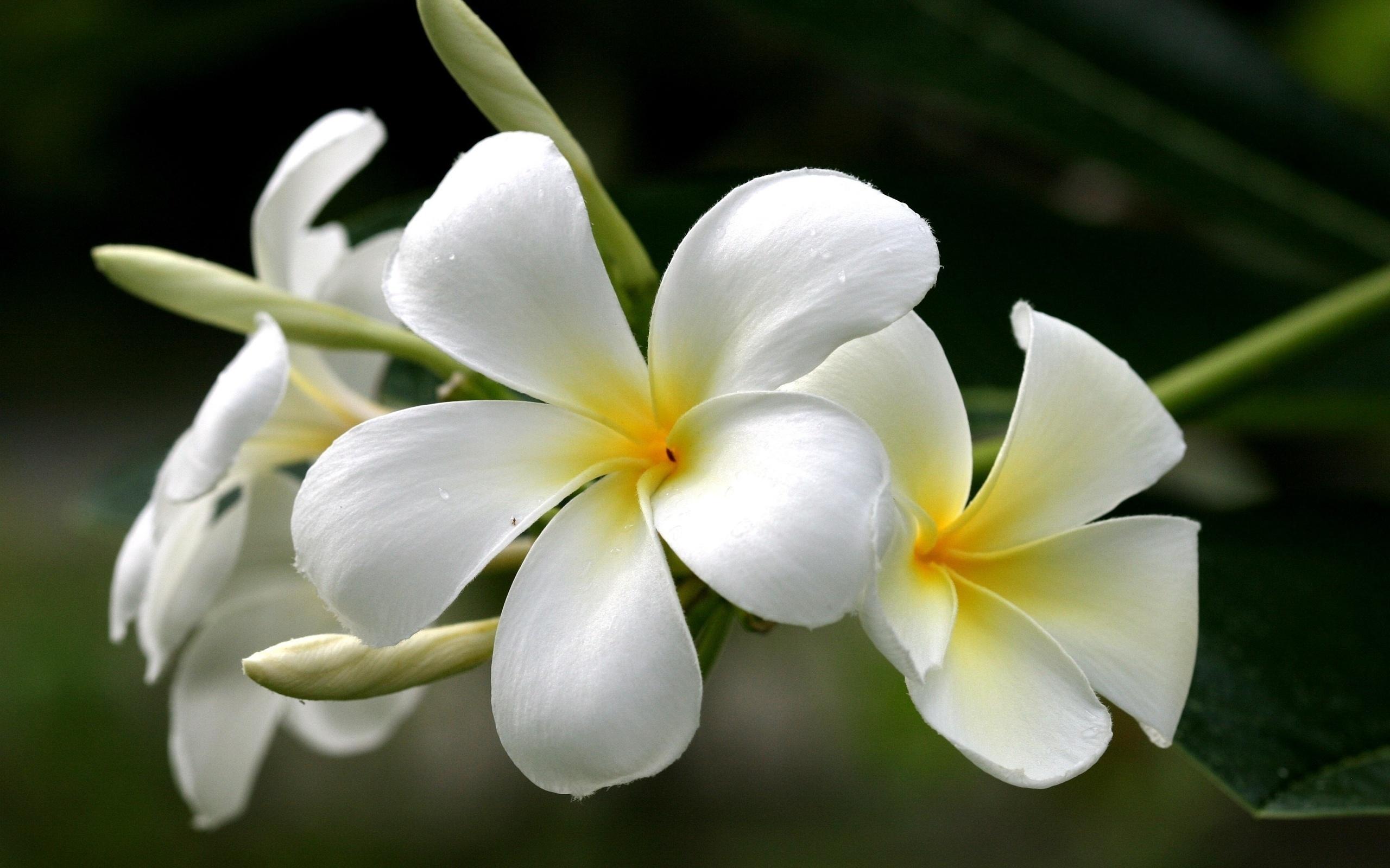 Цветы франжипани в алмате купить