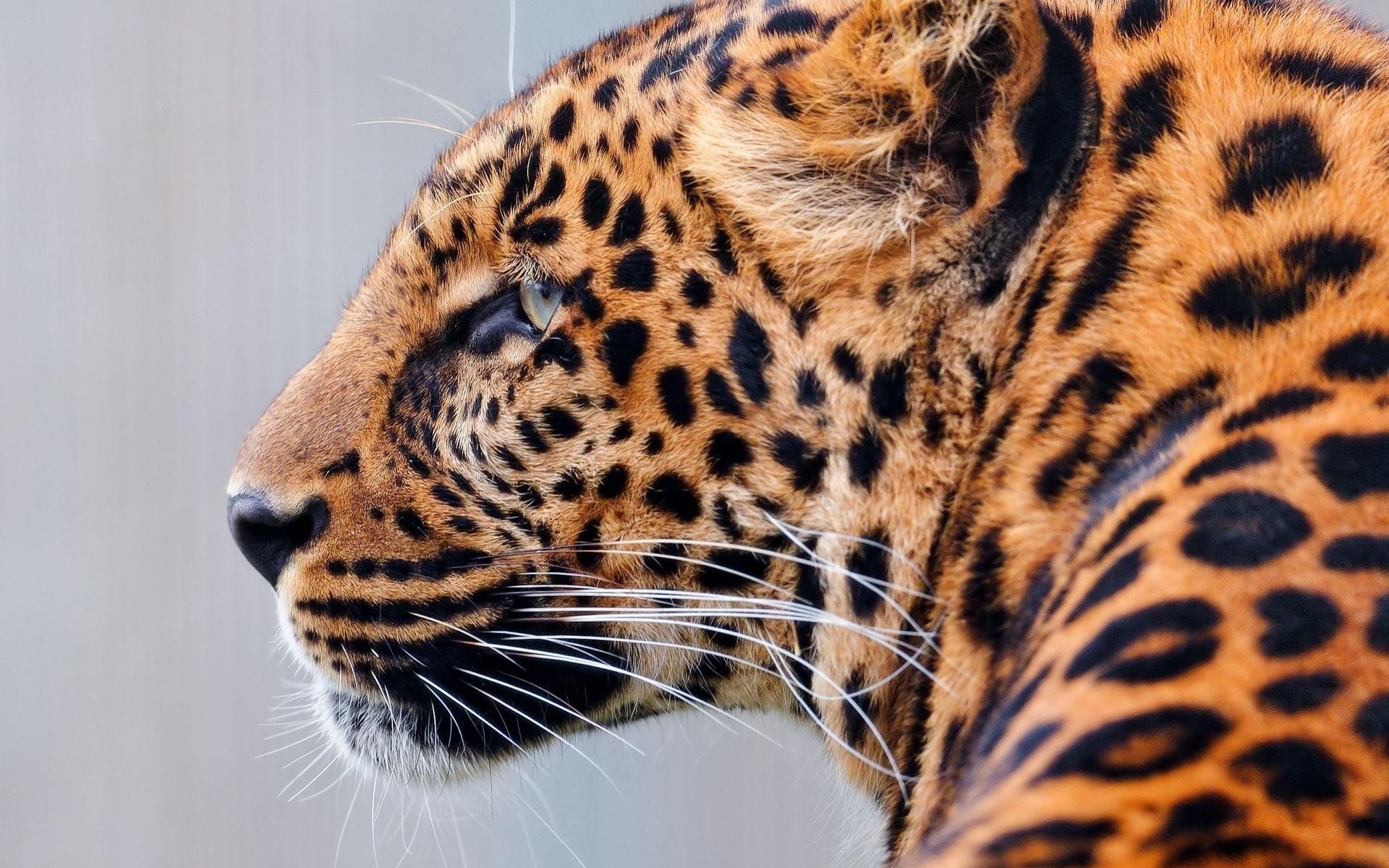 леопард, хищник, взгляд, раскраска