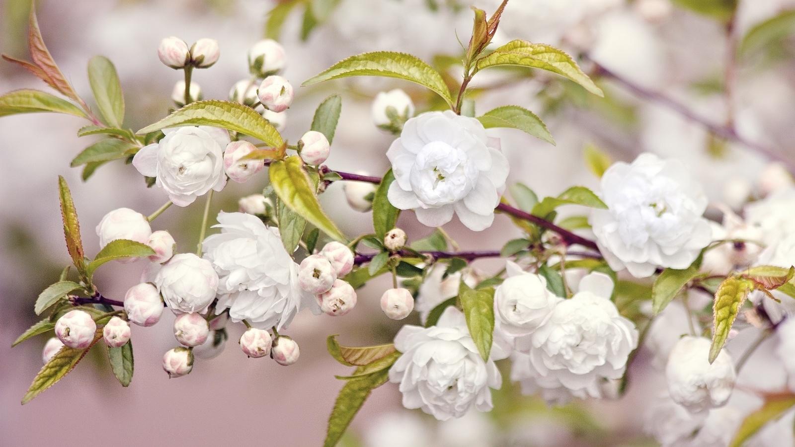 белые, листья, весна, ветка, Цветение, природа, цветы