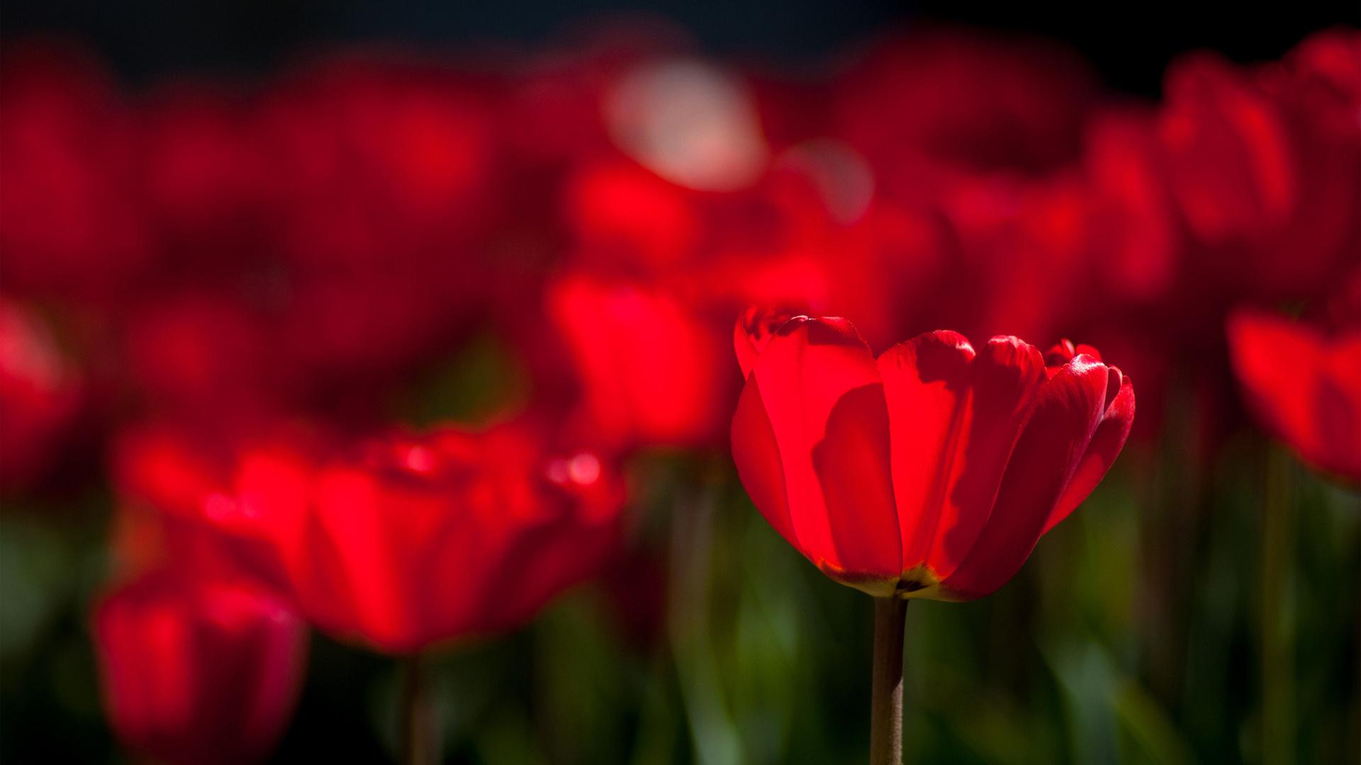 розовые, яркие, весна, Цветы, тюльпаны