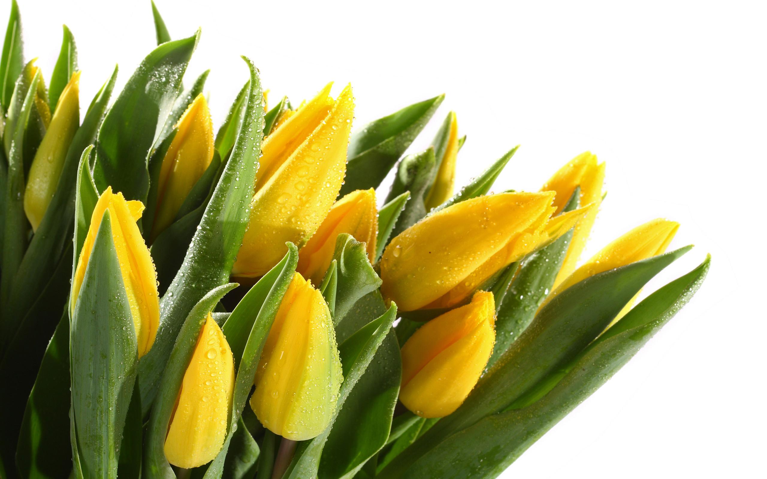 Картинки тюльпаны белые и желтые, днем святого валентина