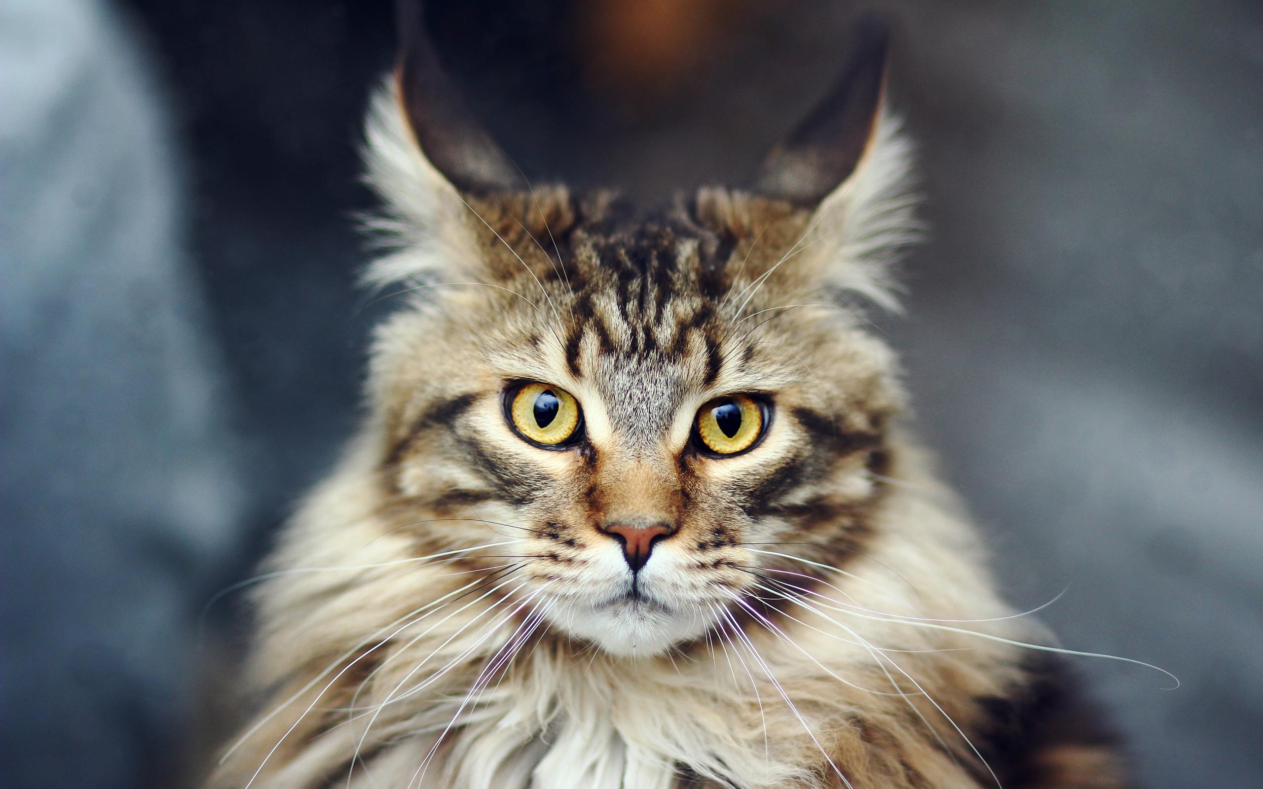 Картинки мейн кун кошки